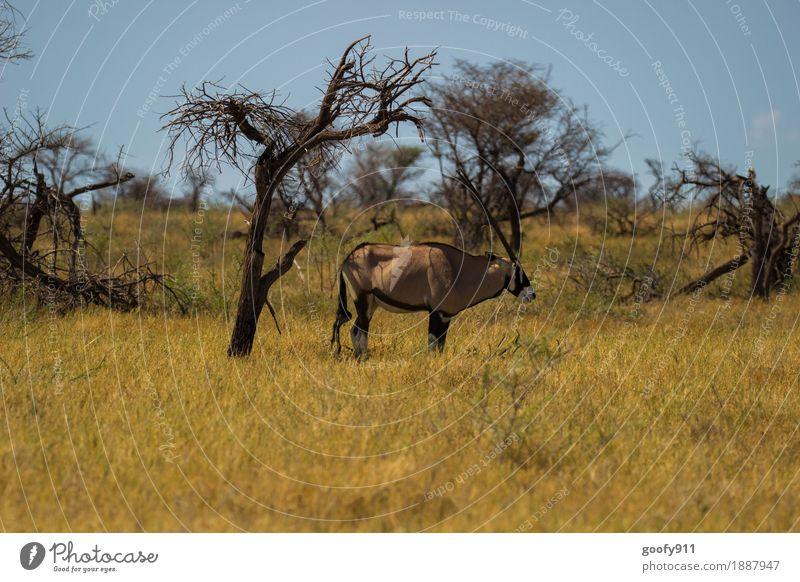 Oryx im Schatten!!! Himmel Natur Ferien & Urlaub & Reisen Sommer Sonne Landschaft Tier Ferne Wärme Umwelt Frühling Ausflug elegant Wildtier stehen warten