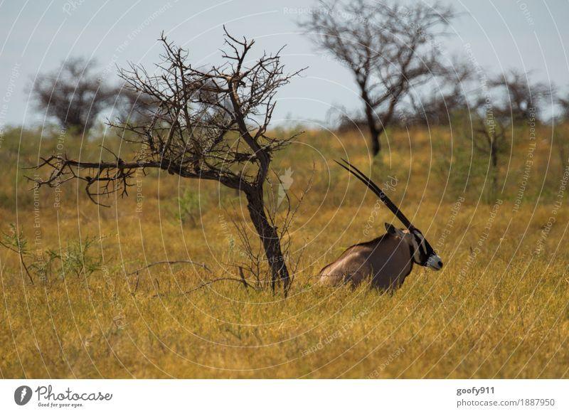 Oryx im Schatten 2!!! Himmel Natur Ferien & Urlaub & Reisen Sommer Sonne Baum Landschaft Erholung Tier Ferne Umwelt Frühling träumen Ausflug Wildtier sitzen