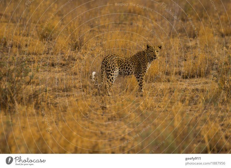 Ich beobachte Dich!!! Ferien & Urlaub & Reisen Ausflug Abenteuer Ferne Safari Umwelt Natur Landschaft Erde Sand Sommer Sträucher Wüste Tier Wildtier Katze