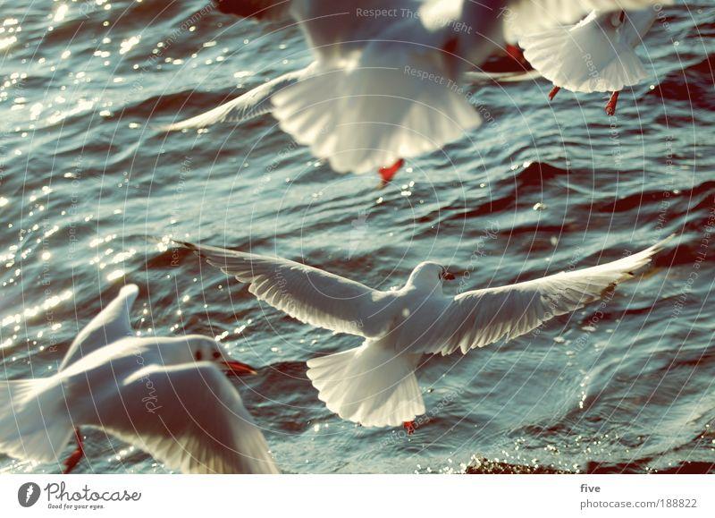 tiefflug Natur Wasser weiß Tier Freiheit See Vogel Umwelt fliegen frei Tiergruppe Unendlichkeit Möwe
