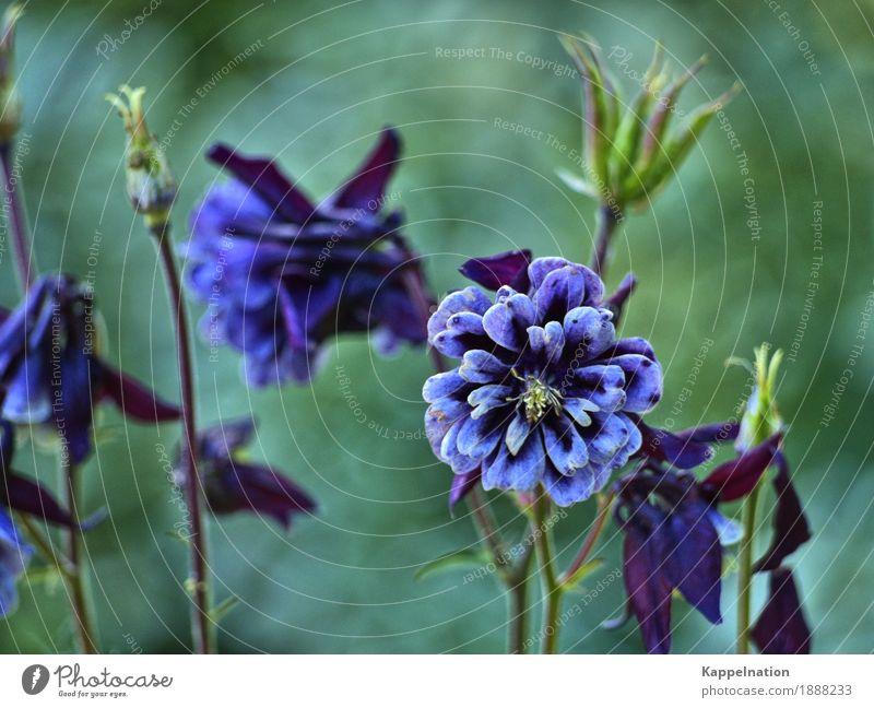 Pflanzenwelt Natur Frühling Blume Wildpflanze Park Wiese exotisch schön violett Frühlingsgefühle ruhig Duft Farbe Umwelt Farbfoto Außenaufnahme Nahaufnahme Tag