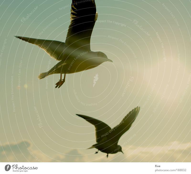 sturzflug Himmel Wolken Sonne Sonnenlicht Winter Tier Vogel Möwe 2 fliegen frei Freiheit Flügel Farbfoto Außenaufnahme Licht Gegenlicht Tag