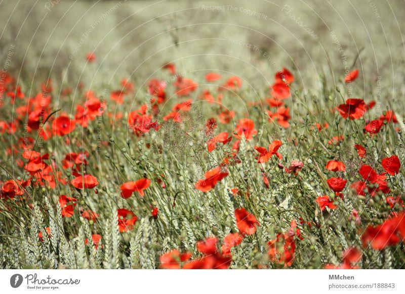 durchwachsen Natur Blume grün rot Sommer Ferien & Urlaub & Reisen Glück Zufriedenheit Feld Kornfeld Fröhlichkeit Wachstum Landwirtschaft wild Lebensfreude
