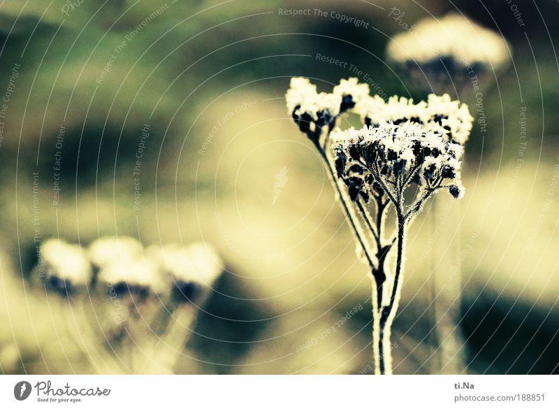 gefrostete Schafgarbe Natur grün Pflanze gelb Wiese Blüte Gras Landschaft Eis Kraft Umwelt ästhetisch Wachstum retro Frost Sträucher