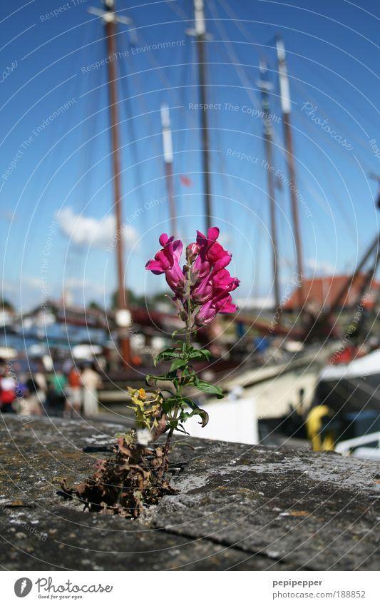 Mauerblümchen Wasser Meer blau Pflanze Sommer Ferien & Urlaub & Reisen Wand Blüte Menschengruppe grau Stein Ausflug Hafen Blühend Schifffahrt