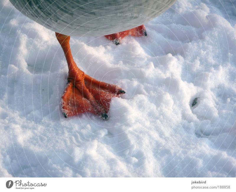kalte Füße? Natur weiß rot Tier Winter kalt Schnee Bewegung Vogel Angst Klima Tierfuß Feder gefroren Todesangst Stress