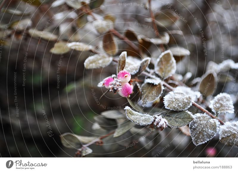 Beerenbrüder I Umwelt Natur Pflanze Winter Klima Eis Frost Schnee Sträucher Blatt Wildpflanze kalt Raureif Farbfoto Außenaufnahme Morgen Tag