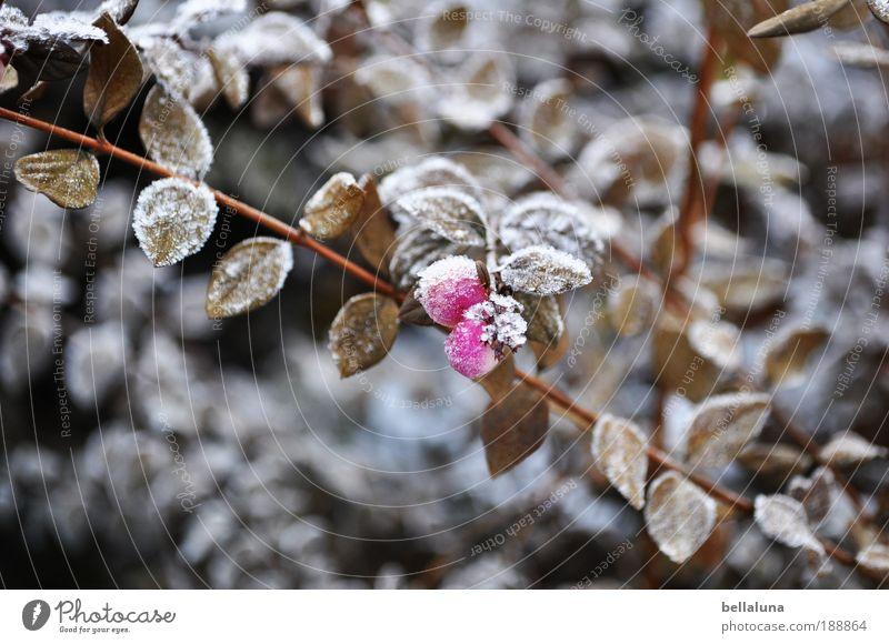 Beerenbrüder II Umwelt Natur Pflanze Klima Wetter Schönes Wetter Eis Frost Sträucher Blatt Wildpflanze kalt Beerensträucher Beerenfruchtstand Eiskristall