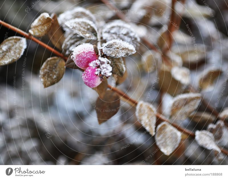 Beerenbrüder III Natur Pflanze Blatt Winter kalt Schnee Umwelt Eis Klima Sträucher Frost Schönes Wetter Eiskristall Raureif