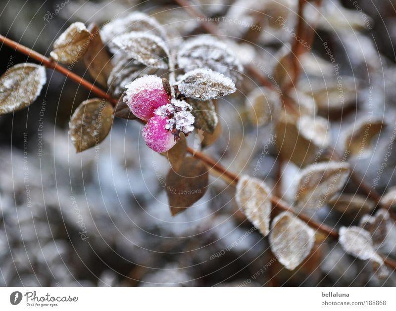 Beerenbrüder III Umwelt Natur Pflanze Winter Klima Schönes Wetter Eis Frost Schnee Sträucher Blatt Wildpflanze kalt Beerensträucher Beerenfruchtstand