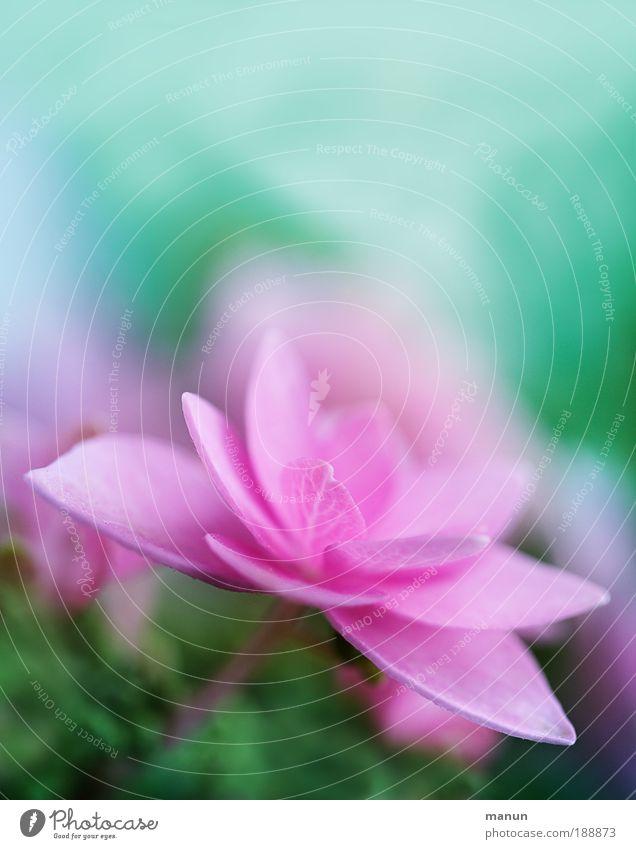 pink cup Natur schön Blume Sommer Farbe Erholung Blüte Frühling Garten hell rosa Design frisch Fröhlichkeit Dekoration & Verzierung Blühend