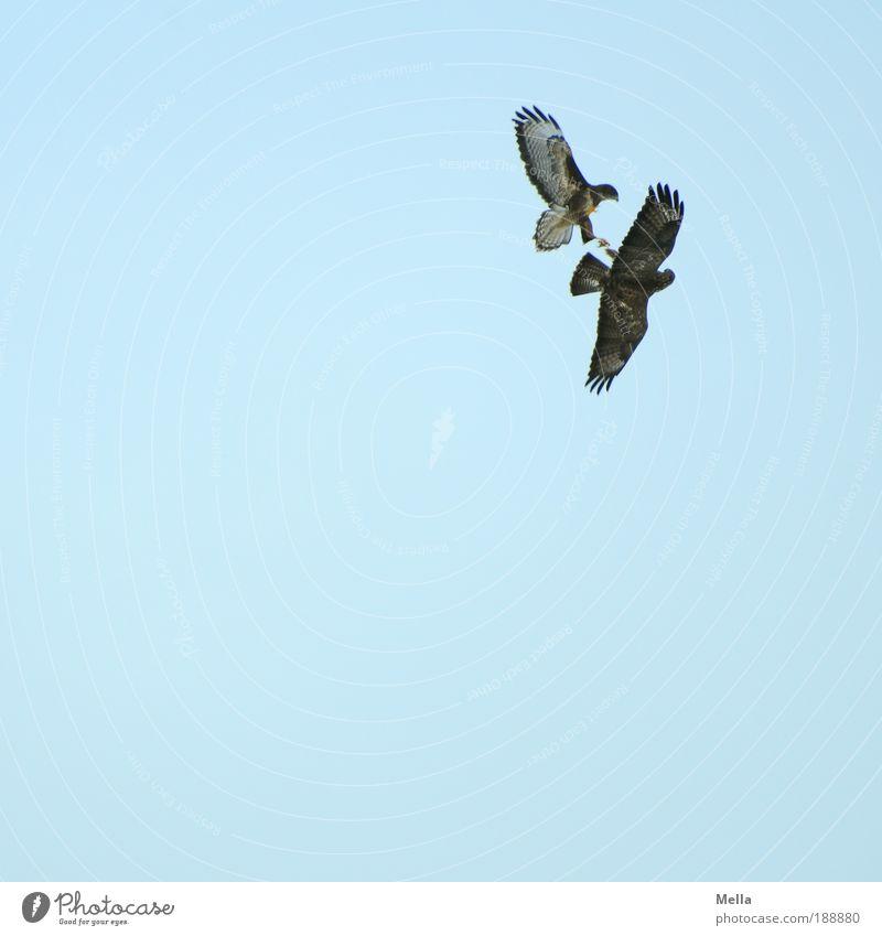 Attacke! Umwelt Natur Tier Luft Wolkenloser Himmel Wildtier Vogel Bussard 2 fliegen Jagd kämpfen bedrohlich frei natürlich wild blau Stimmung Kraft Mut