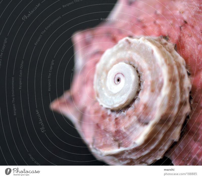 Muschel Natur weiß rot Tier klein rosa Häusliches Leben Seeufer Schnecke Schneckenhaus Muschelschale Muschelform