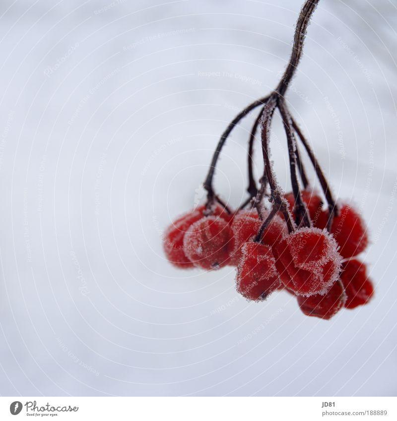 Eisfrüchte Natur Winter Frost Schnee authentisch trocken rot weiß gefroren Beeren Vogelbeeren kälte Farbfoto Außenaufnahme Nahaufnahme Detailaufnahme