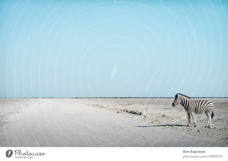 Zebra crossing Ferien & Urlaub & Reisen Tourismus Abenteuer Ferne Freiheit Safari Natur Landschaft Wolkenloser Himmel Wärme Dürre Wüste Tier Wildtier stehen
