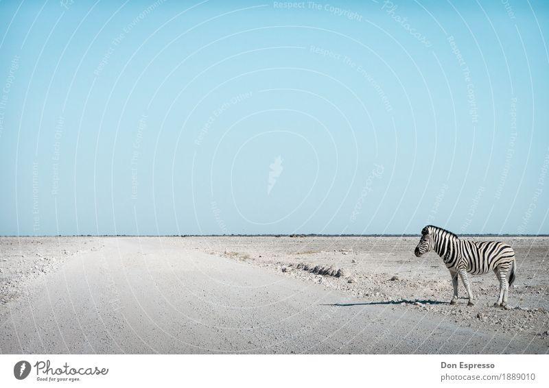 Zebra crossing Natur Ferien & Urlaub & Reisen Landschaft Tier Ferne Wärme Freiheit Tourismus Wildtier trist stehen warten Abenteuer Unendlichkeit trocken Wüste