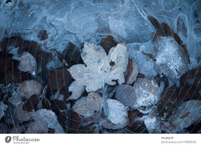 Eiszeit Natur Pflanze Herbst Winter Klima Klimawandel Frost Blatt frieren kalt braun träumen Traurigkeit Trauer Liebeskummer bizarr Vergänglichkeit