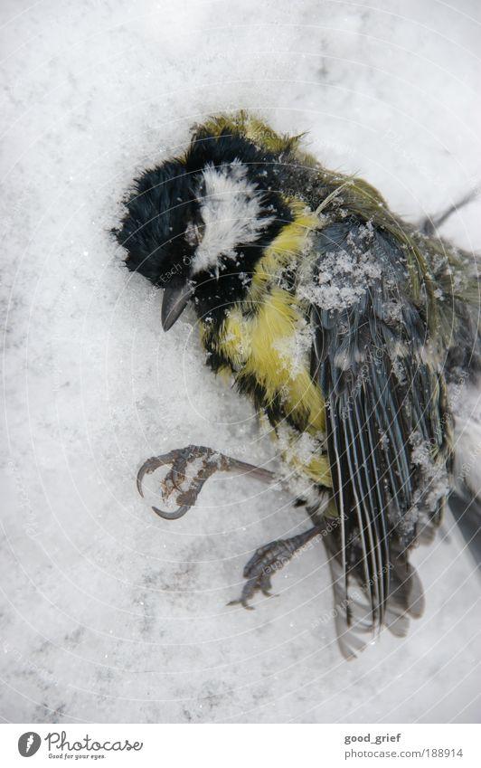 tief daisy nicht überlebt Tier Wildtier Totes Tier Vogel Flügel Zoo 1 liegen Tod Winter kalt erfrieren Kälteschock Schnabel Pfosten Meisen Singvögel Farbfoto