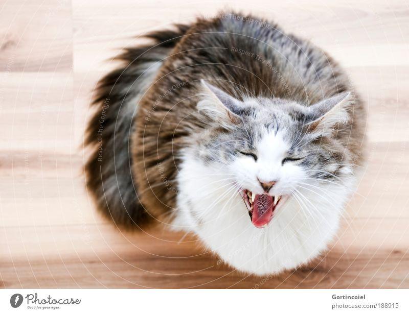 What's Uuuuup Auge Tier lachen Katze lustig verrückt Gebiss Ohr Tiergesicht schreien Fell niedlich Haustier Schwanz langhaarig Zunge