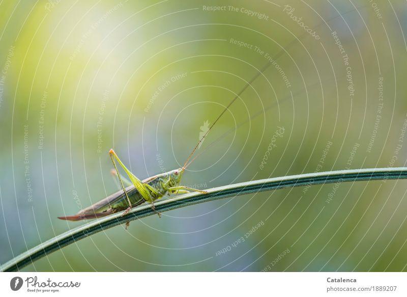Ton in Ton | zur Tarnung Natur Landschaft Sommer Schönes Wetter Pflanze Lavendelstiel Garten Insekt Heuschrecke Grünes Heupferd 1 Tier beobachten ästhetisch