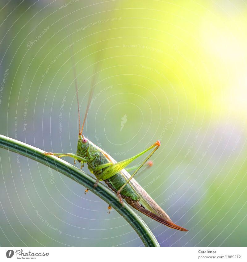 Hüpfer Sommer Wiese Insekt Heuschrecke 1 Tier beobachten hocken ästhetisch braun gelb grün violett rosa Wachsamkeit Design Umwelt Umweltschutz Farbfoto