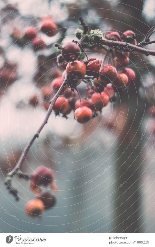 Verbotene Frucht Umwelt Natur Pflanze Herbst schlechtes Wetter Sträucher Grünpflanze alt grau grün rot Gefühle Stimmung Traurigkeit Sorge Trauer Liebeskummer