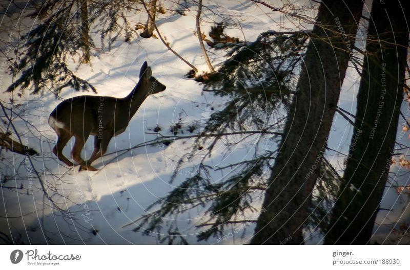 Fluchtgedanken Natur grün weiß Pflanze Baum Tier Winter Wald Umwelt Schnee Stimmung braun Eis Wetter Wildtier laufen