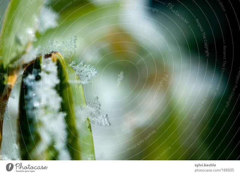 Schönheit des Winters III Natur Wasser schön weiß grün Pflanze Blatt schwarz kalt Schnee Eis Umwelt Frost Sträucher Klima