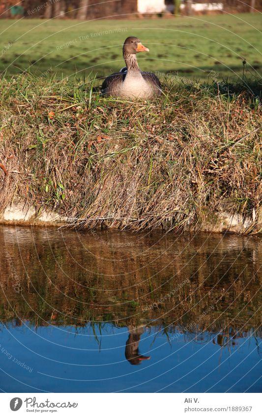 Spieglein, Spieglein Natur Wasser Schönes Wetter Gras Gans 1 Tier sitzen nass natürlich blau braun gelb grün orange Zufriedenheit Farbfoto Außenaufnahme Tag