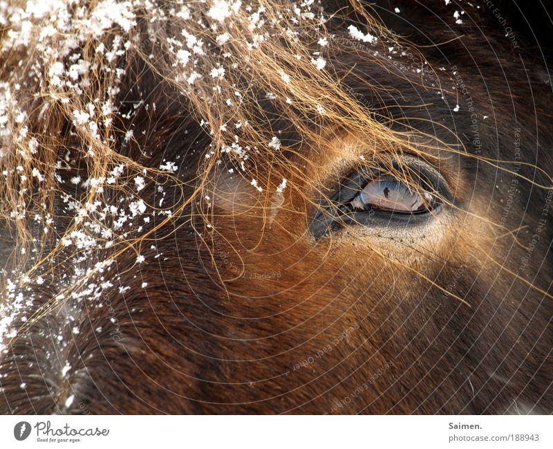 2 ponys Winter Schnee Schneefall Tier Nutztier Pferd 1 kalt nass braun elegant Natur Auge Ponys Selbstportrait Fell Fellfarbe Wimpern ich im Auge Farbfoto