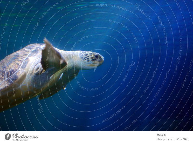 Leonardo blau Ferien & Urlaub & Reisen Meer Unterwasseraufnahme Ferne Tier Freiheit groß Wildtier Riff exotisch Aquarium Expedition Schildkröte Korallenriff