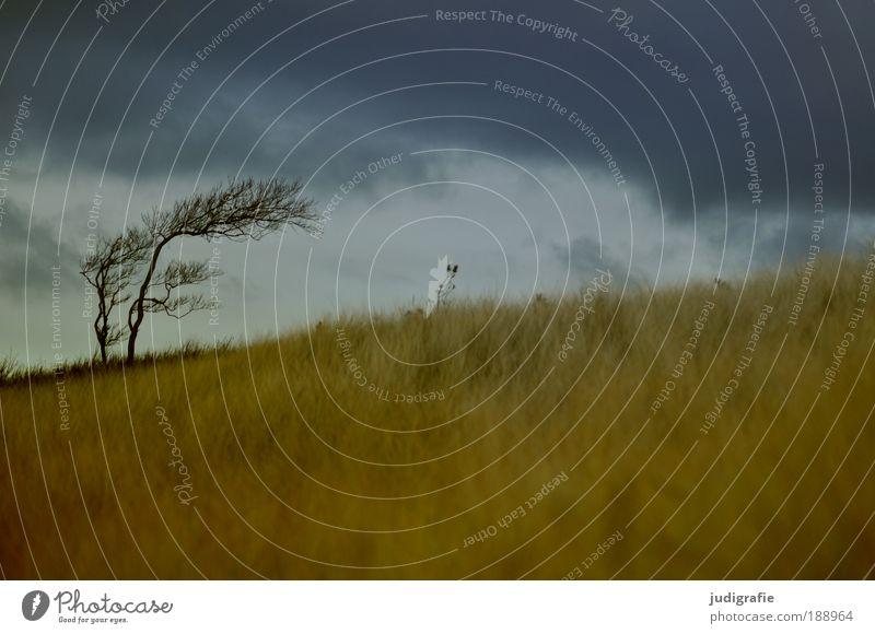 Weststrand Umwelt Natur Landschaft Pflanze Himmel Wolken Klima Unwetter Wind Sturm Baum Gras Küste Strand Ostsee Meer bedrohlich dunkel Idylle Darß Windflüchter