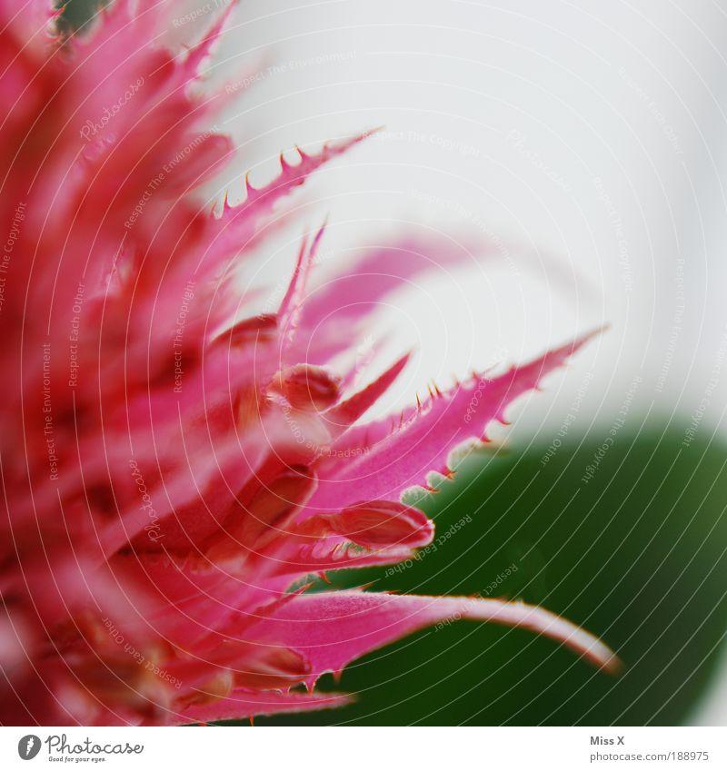 rOsA Natur Pflanze Frühling Sommer Blume Sträucher Kaktus Blatt Blüte Topfpflanze schön stachelig rosa Stachel Blütenblatt Farbfoto mehrfarbig Innenaufnahme