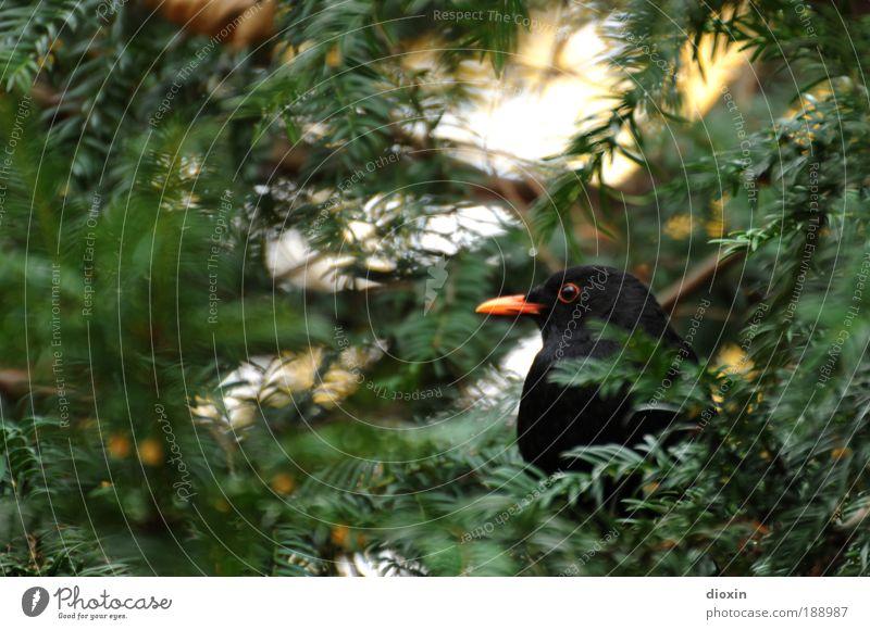 Schwarzdrossel (Turdus merula) N°3 Umwelt Natur Pflanze Tier Baum Blatt Garten Park Wald Wildtier Vogel Tiergesicht Flügel 1 hocken Blick warten natürlich grün