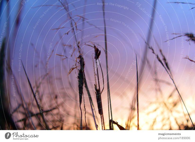 Abendstimmung Natur Landschaft Pflanze Himmel Sonnenaufgang Sonnenuntergang Herbst Schönes Wetter Gras Sträucher Wiese Feld natürlich blau gelb violett Gefühle