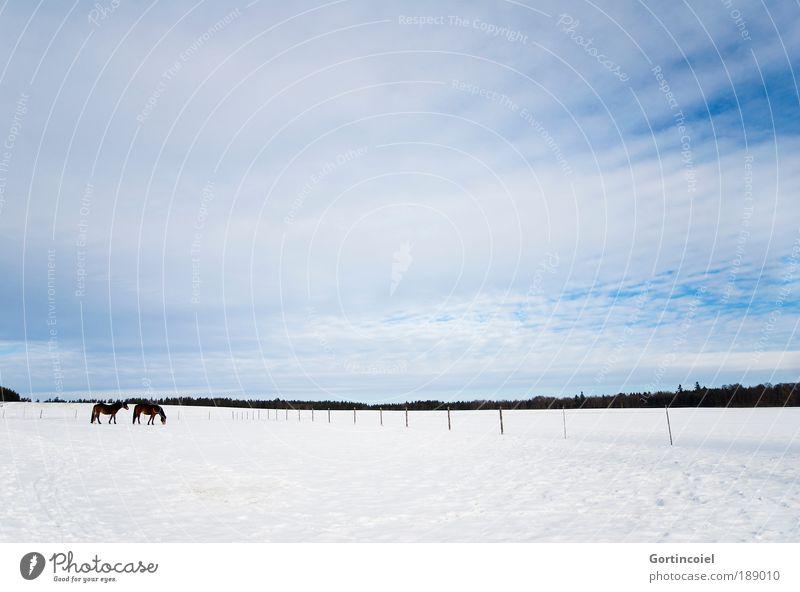 Winterweide Himmel weiß blau Wolken Tier Ferne kalt Schnee Landschaft Umwelt Pferd Fell Weide Zaun