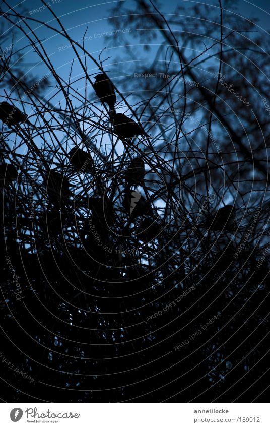 Stadtgespräch zur guten Nacht Umwelt Natur Pflanze Tier Himmel Nachthimmel Baum Sträucher Park Wald Wildtier Vogel Spatz Tiergruppe Schwarm dunkel blau