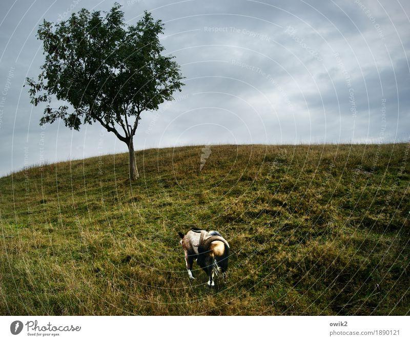Wilder Widder Umwelt Natur Landschaft Pflanze Tier Wolken Horizont Klima Schönes Wetter Baum Wiese Geißbock 1 Fressen stehen Gehege Weide Farbfoto