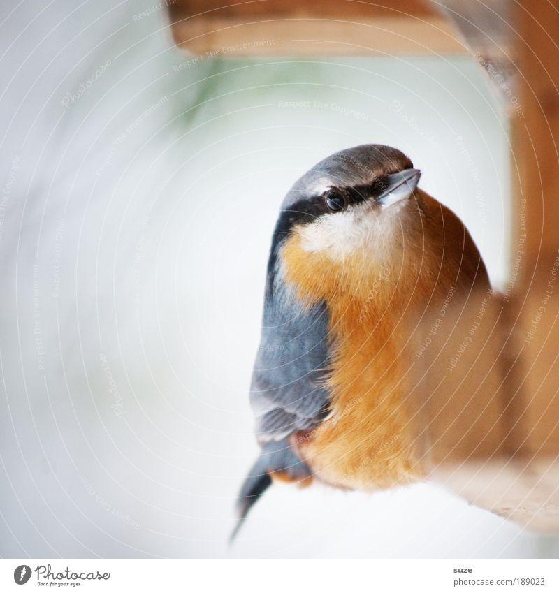 Herr Kleiber Winter Tier Wildtier Vogel Feder 1 sitzen Singvögel Schnabel Futterhäuschen Ornithologie Heimat heimisch gefiedert Farbfoto mehrfarbig