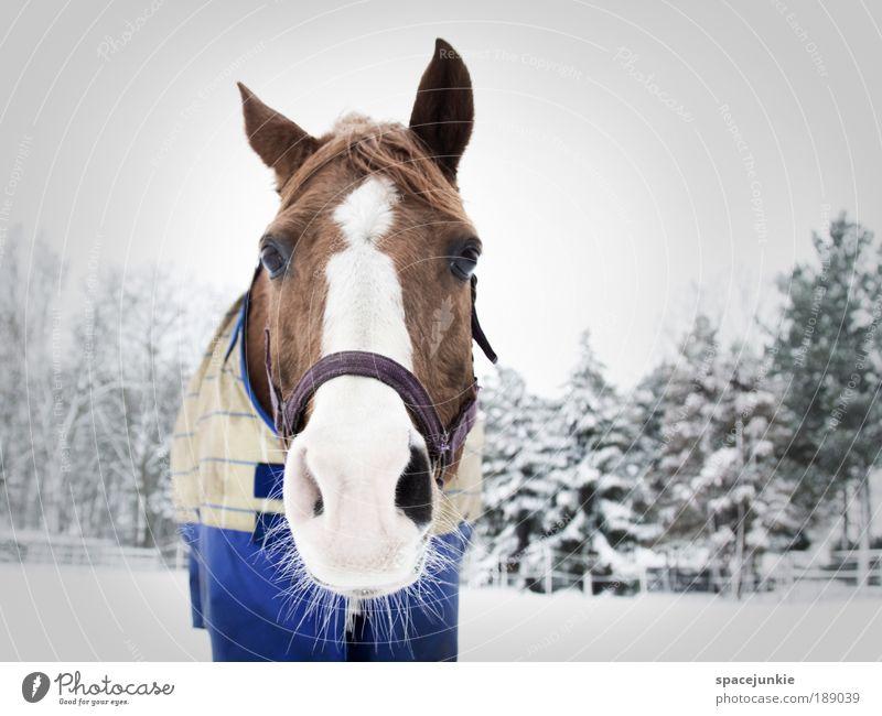 A horse in the snow Reitsport Natur Landschaft Winter Eis Frost Schnee Baum Tier Pferd Tiergesicht 1 braun weiß Sympathie Tierliebe Neugier Decke Farbfoto