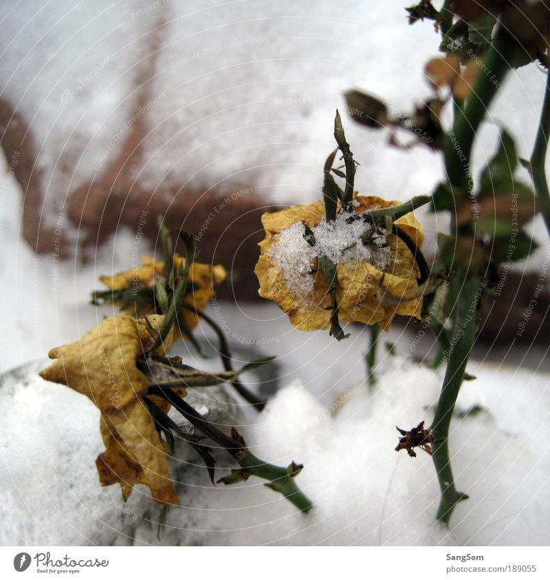 Schneeröschen Natur Pflanze Winter Eis Frost Blume Rose Blatt Blüte Grünpflanze Nutzpflanze Stein Blühend frieren verblüht gelb weiß Vorfreude Eisblumen welk