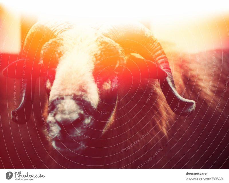 The Illumination of the Ram by the Coward M. Doesnotcare Tier Nutztier gelb rot Schaf Widder Horn Teufel Light Leak Lightleak Lichtfleck Bock analog Farbfoto