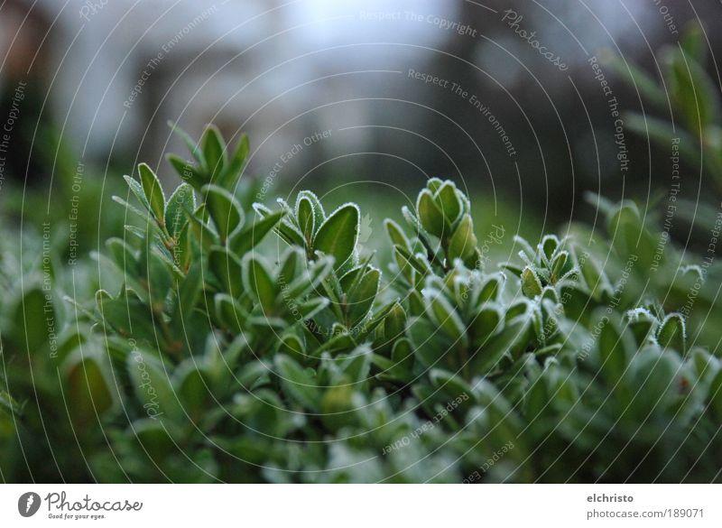 AngeFROSTet Pflanze Winter grün Buchsbaum Blatt Sträucher Frost gefroren kalt Wachstum Farbfoto Außenaufnahme Detailaufnahme Textfreiraum oben fokussieren