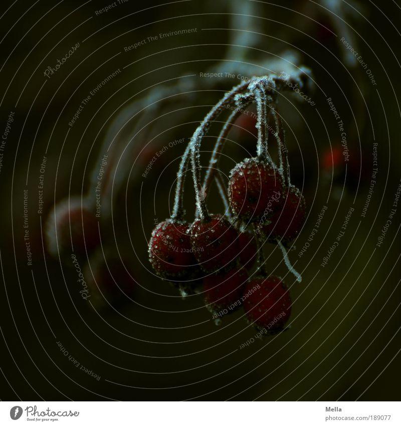 Dunkle Jahreszeit Umwelt Natur Pflanze Winter Klima Klimawandel Wetter Eis Frost Sträucher Beeren Beerenfruchtstand hängen Wachstum dunkel kalt natürlich