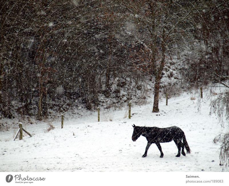 allein in der kälte Natur Winter schlechtes Wetter Eis Frost Schnee Schneefall Feld Wald Pferd 1 Tier gehen kalt nass Tierliebe Unlust Einsamkeit Bewegung
