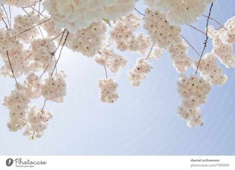 Wunsch ?? Umwelt Natur Pflanze Wolkenloser Himmel Sonne Sonnenlicht Frühling Klima Wetter Schönes Wetter Baum Park blau rosa weiß Kirschblüten Licht Gegenlicht