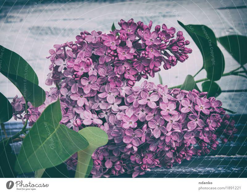 Zweig der lila Flieder mit grünen Blättern Natur Pflanze Farbe Sommer schön weiß Baum Blume Blatt Blüte Liebe Garten rosa Wachstum Dekoration & Verzierung