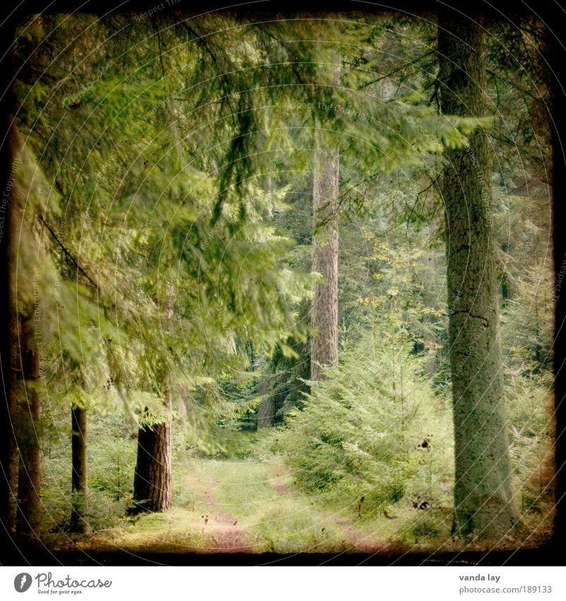 Märchenwald Umwelt Natur Pflanze Frühling Sommer Baum Wald Wege & Pfade alt Tanne Fußweg Nadelwald Schwarzwald fantastisch Kamerawurf Trough The Viewfinder