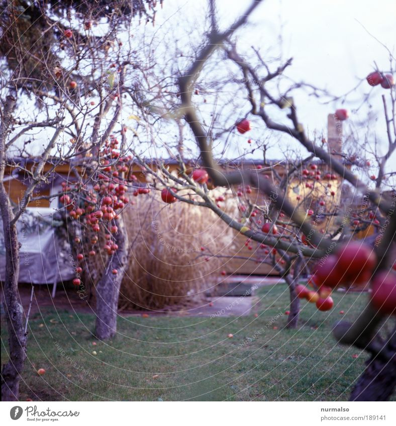 Verführungskünstler Natur Baum Umwelt Herbst Garten Frucht Lebensmittel Freizeit & Hobby Ernährung Häusliches Leben gut Idylle Apfel rein Zeichen genießen