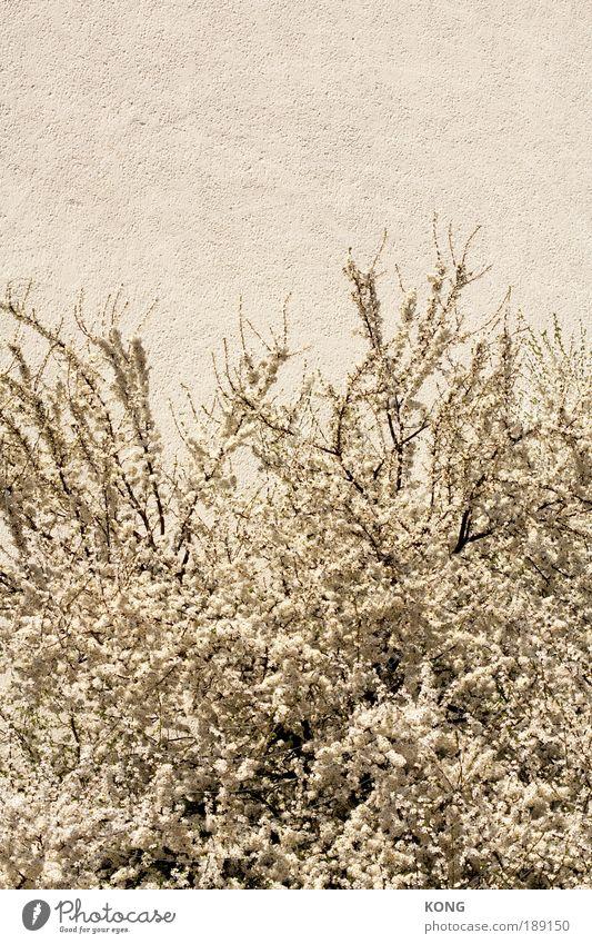 sommer im winter im sommer Natur weiß schön Pflanze Blume Sommer Gefühle Blüte Frühling Stimmung hell frei wild frisch ästhetisch Erfolg